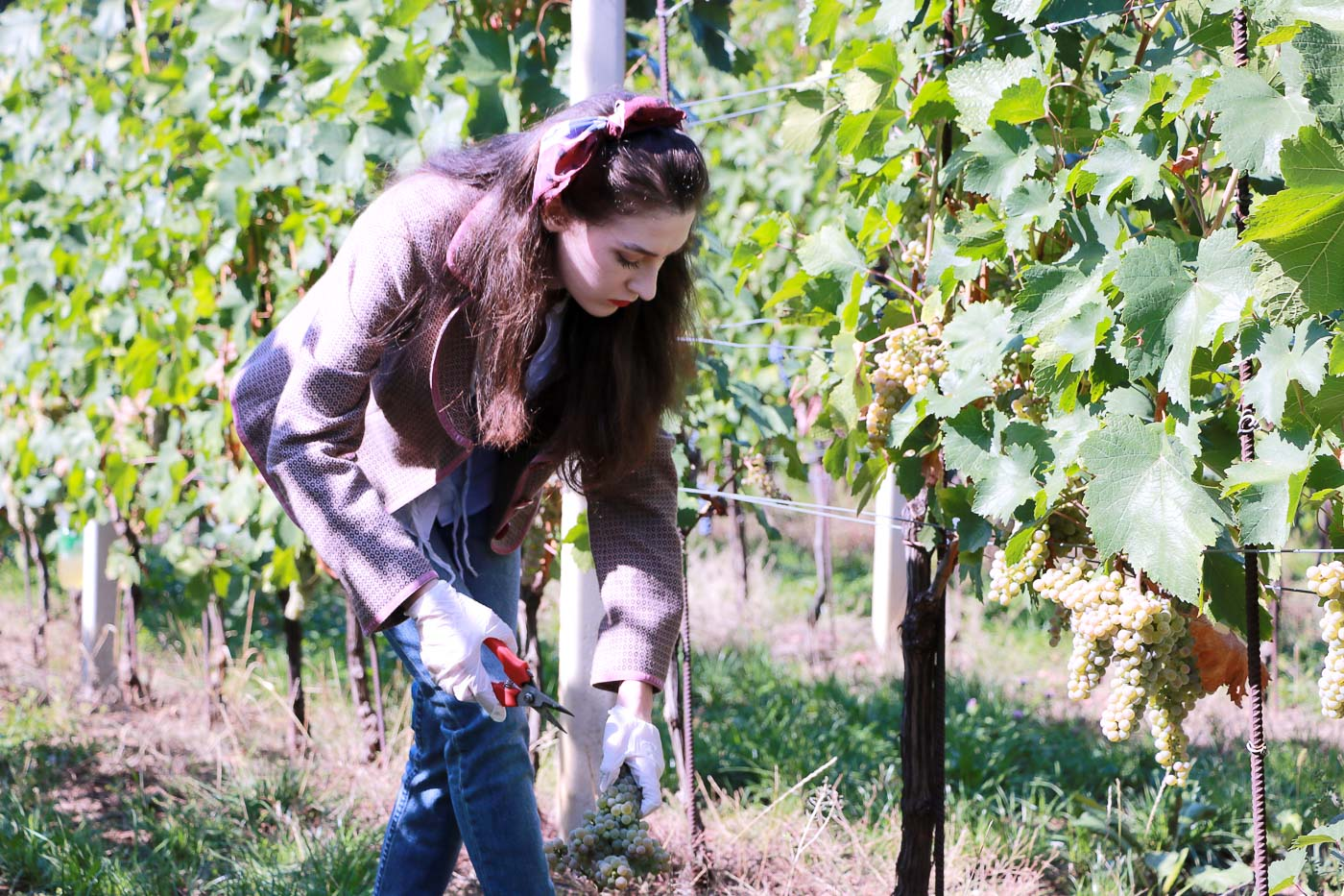 Fashion Blogger Veronika Lipar of Brunette from Wall Street picking grapes at the grape harvest wearing retro printed tweed blazer, blue mom jeans, bobby sneaker, head scarf, gloves